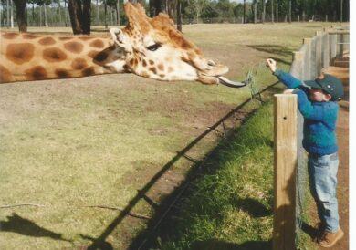 Giraffes have long tongues
